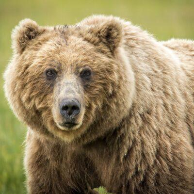 Bären – Lachse – Adler und abrechende Eisberge – Alaska erleben !